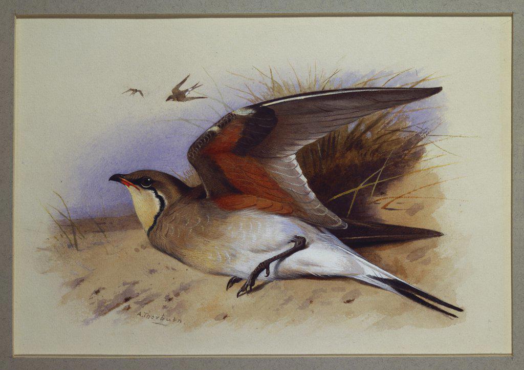 Stock Photo: 866-8306 A Common Pratincole. Archibald Thorburn (1860-1935). Watercolour, 16.5 x 24.1cm.