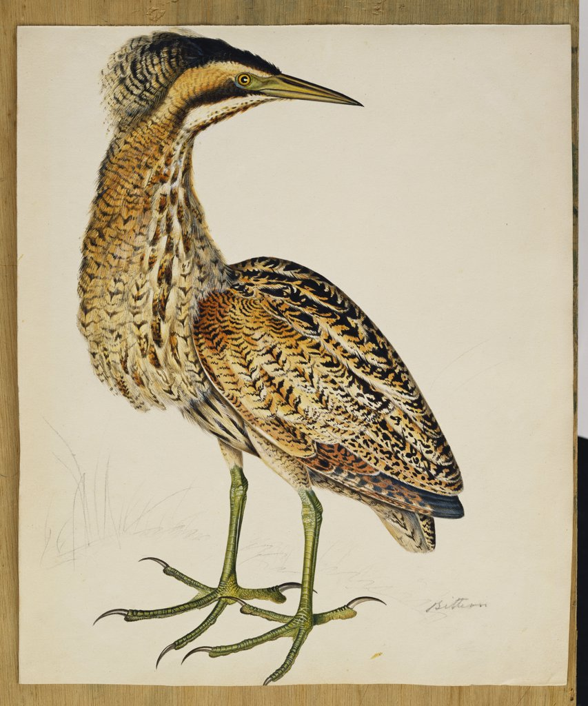 Stock Photo: 866-8312 A Bittern. The Rev. Christopher Atkinson (1754-1795). Pen and ink and watercolour heightened with white and gum arabic. 32.4 x 27.3cm.