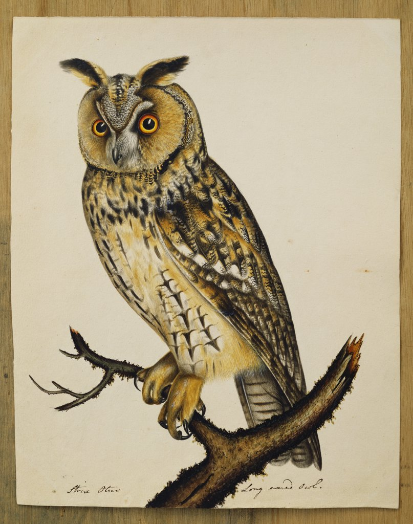 Stock Photo: 866-8395 A Long-Eared Owl (Strix Otus). The Rev. Christopher Atkinson (1754-1795). Pen and ink and watercolour heightened with white and gum arabic. 28.6 x 22.9cm.