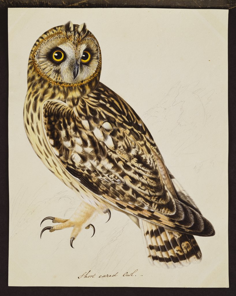 Stock Photo: 866-8397 A Short-Eared Owl. The Rev. Christopher Atkinson (1754-1795). Pen and ink and watercolour heightened with white and gum arabic. 28.9 x 22.9cm.