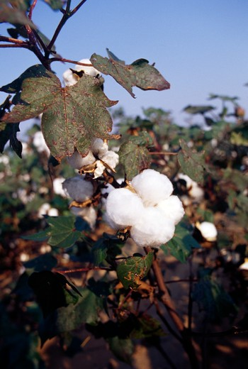 Stock Photo: 867-1046 Cotton growing on tree