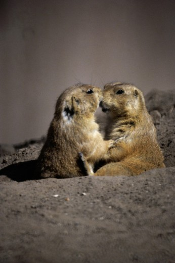 Stock Photo: 867-1252 Prairie Dogs