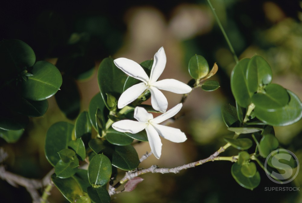 Stock Photo: 867R-1146 Close-up of jasmine flowers