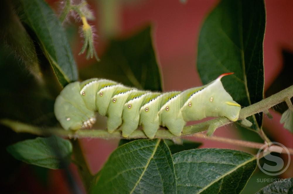 Stock Photo: 867R-1148 Caterpillar on a branch