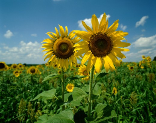Stock Photo: 867R-1283 Field of sunflowers