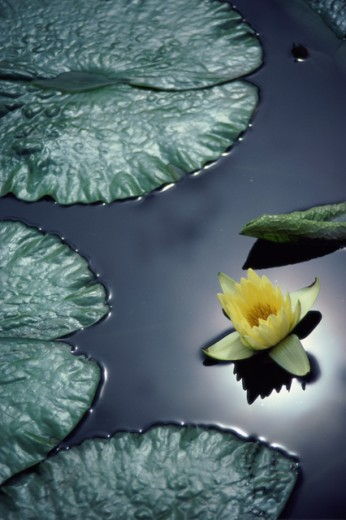 Stock Photo: 867R-1360 Water lily in a pond