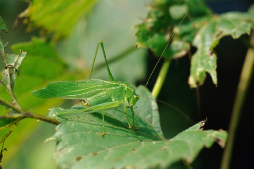 Stock Photo: 867R-1376 Close-up of a grasshopper on a plant