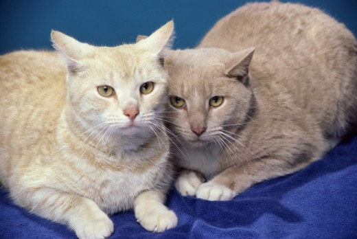 Stock Photo: 867R-1448 Portrait of two cats