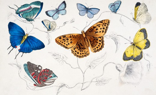 Stock Photo: 875-3063 Butterflies, lithograph, 19th Century, Private Collection