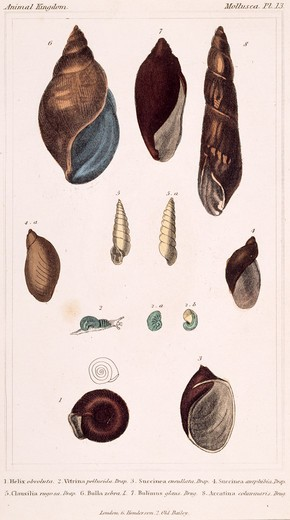 Stock Photo: 875-3204 Mollusca - Pl .13, 19th Century, London, Prints, Color lithograph, Private Collection