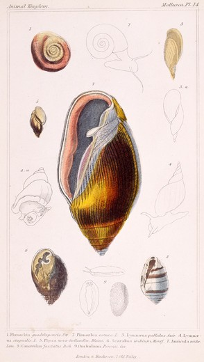 Stock Photo: 875-3205 Mollusca - Pl .14, 19th Century, London, Prints, Color lithograph, Private Collection
