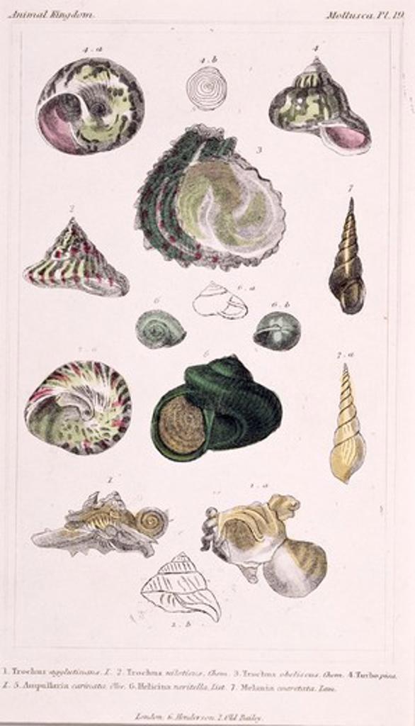 Mollusca - Pl .19, 19th Century, London, Prints, Color lithograph, Private Collection : Stock Photo