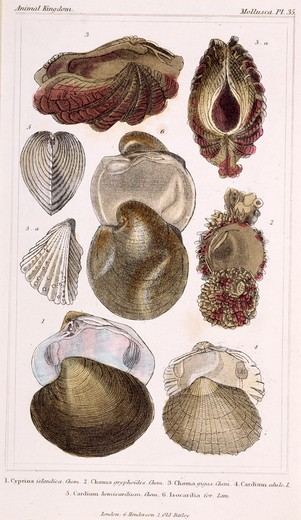 Mollusca - Pl .35, 19th Century, London, Prints, Color lithograph, Private Collection : Stock Photo