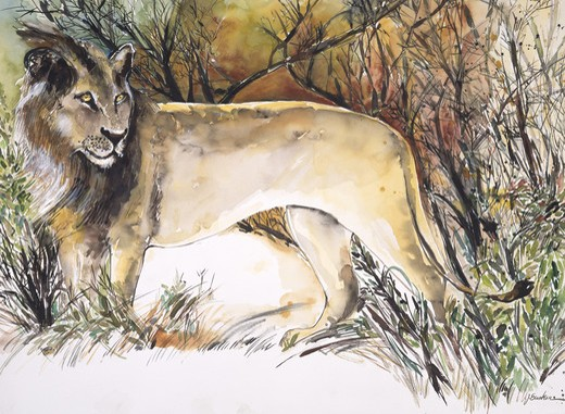 Africa, Kenya, Safari, Male Lion by John Bunker, watercolor, 1996 : Stock Photo