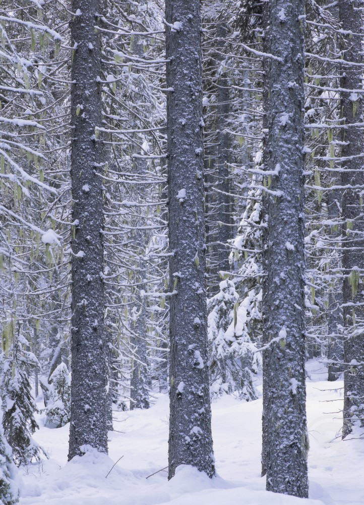 Stock Photo: 882-569 Trees on a snow covered landscape