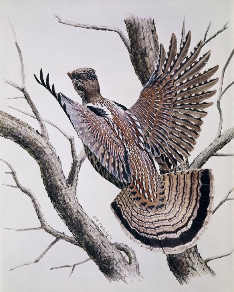 Pheasant Artist Unknown  : Stock Photo