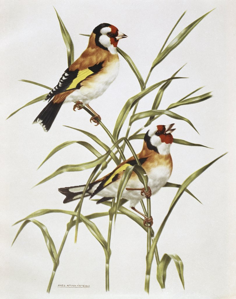 Stock Photo: 900-121075 Gold finch by Axel Amuchastegui, 1921-2002