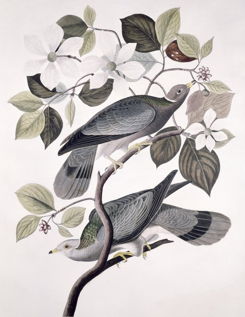 Stock Photo: 900-129459 Band Tailed Pigeon - Male And Female, Audubon, John James (1785-1851/American), Lithograph