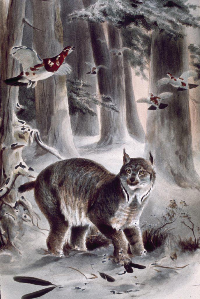 Stock Photo: 900-130587 Canadian Lynx, artist unknown