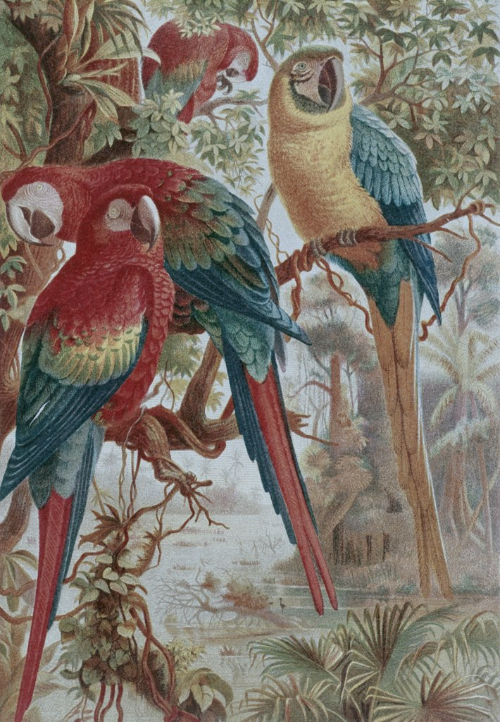 Stock Photo: 900-132578 Parrots Artist Unknown