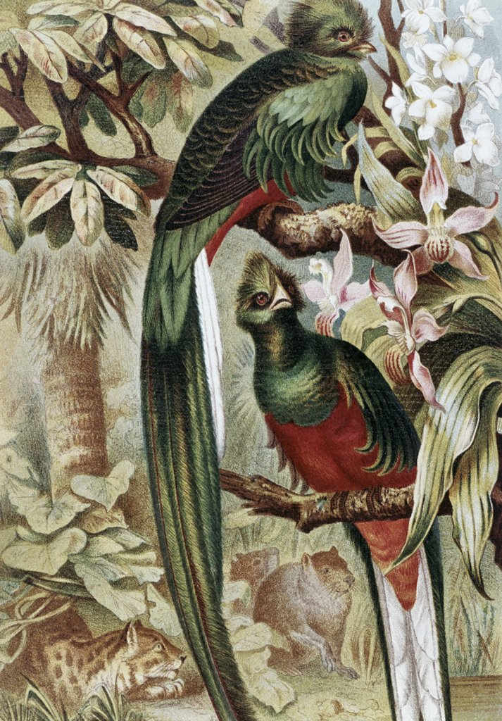 Stock Photo: 900-132583 Quetzal Birds On Tree Artist Unknown