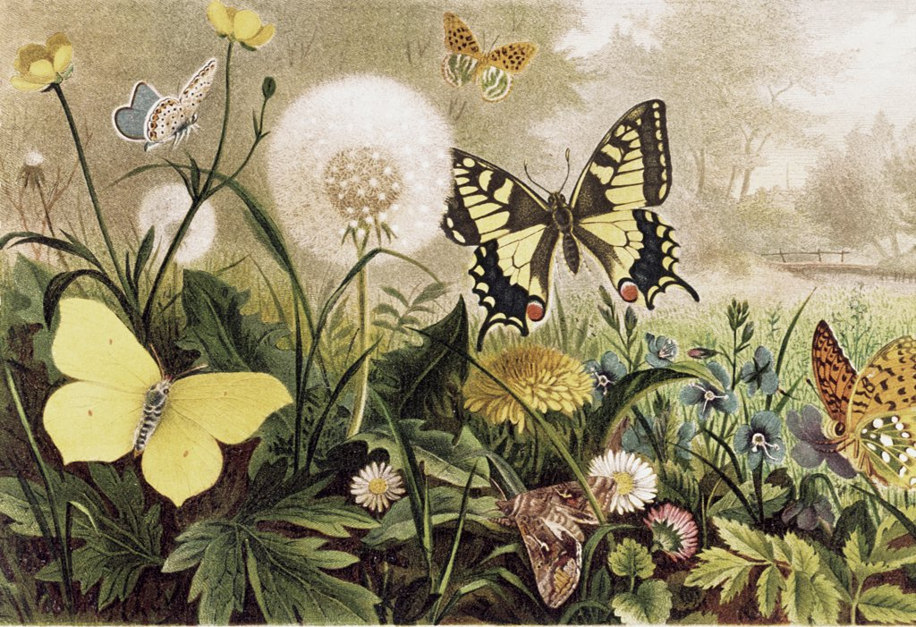 Butterfly Artist Unknown  : Stock Photo