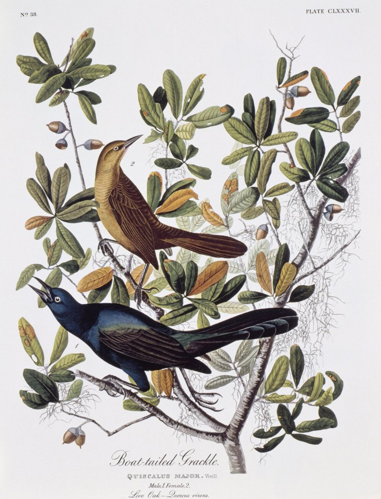Stock Photo: 900-133049 Boat Tailed Grackle - Male and Female 