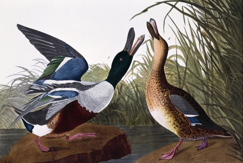 Stock Photo: 900-133050 Shoveller Duck, male and female by John James Audubon, lithograph, (1785-1851)