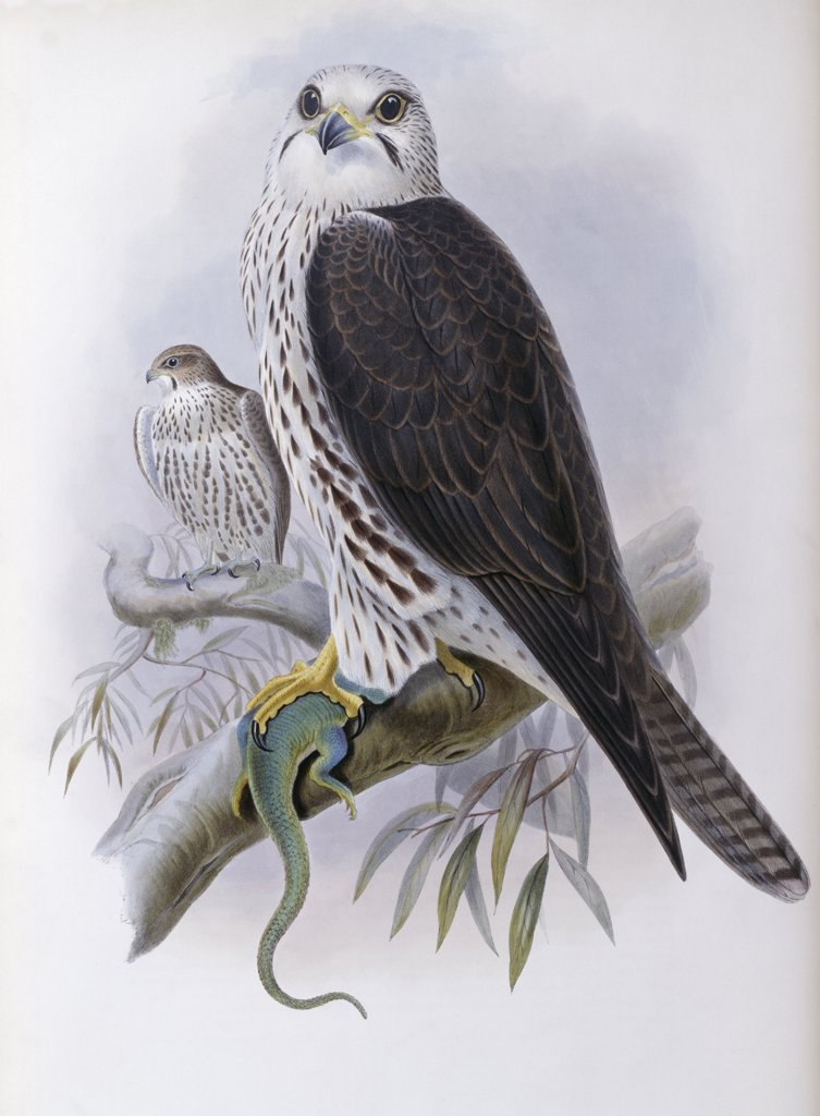 Stock Photo: 900-139678 Saker Falcon Artist Unknown