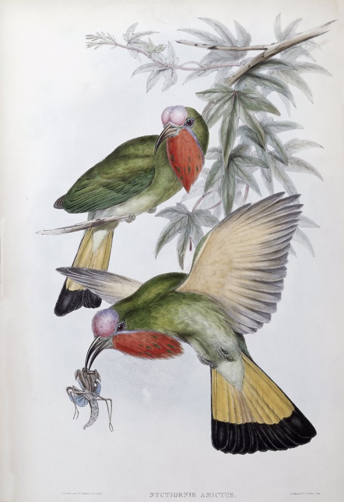 Stock Photo: 900-139680 Red-throated Nyctiornis John Gould (1804-1881 British)