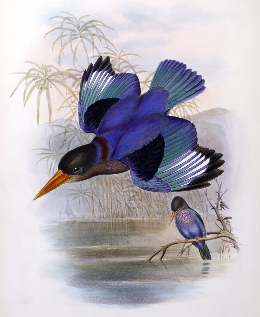 Many-Colored Kingfisher John Gould (1804-1881 British)  : Stock Photo