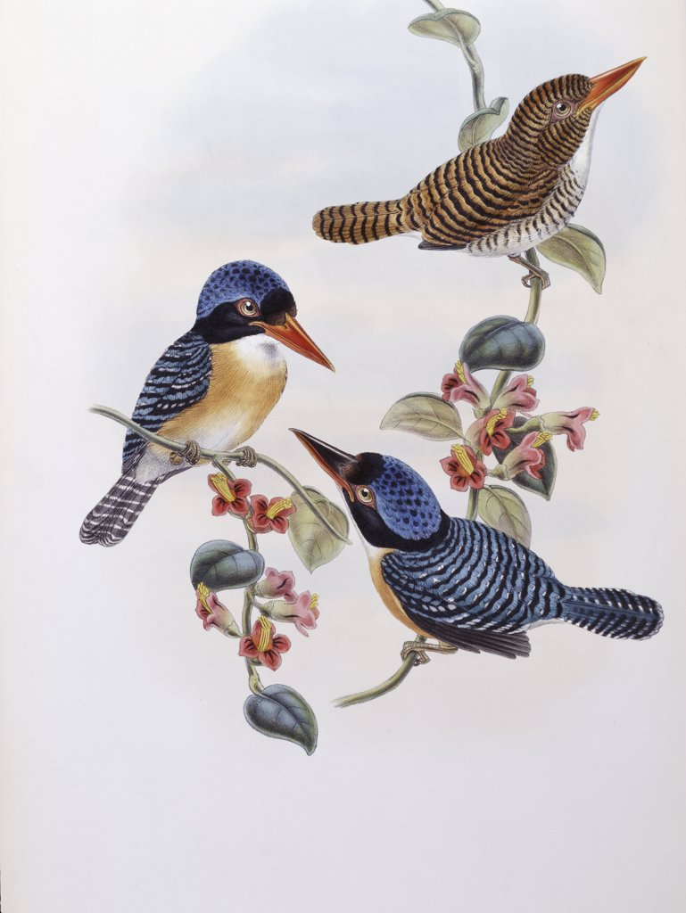Black Faced Kingfisher John Gould (1804-1881 British) : Stock Photo