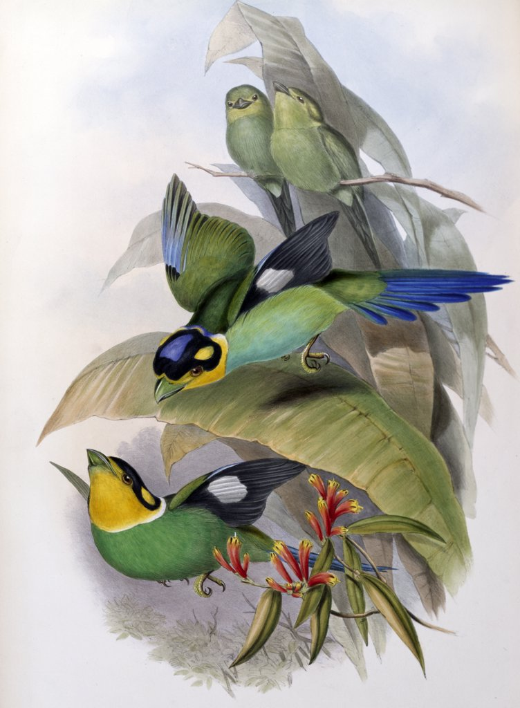 Dalhousies Eurylaime