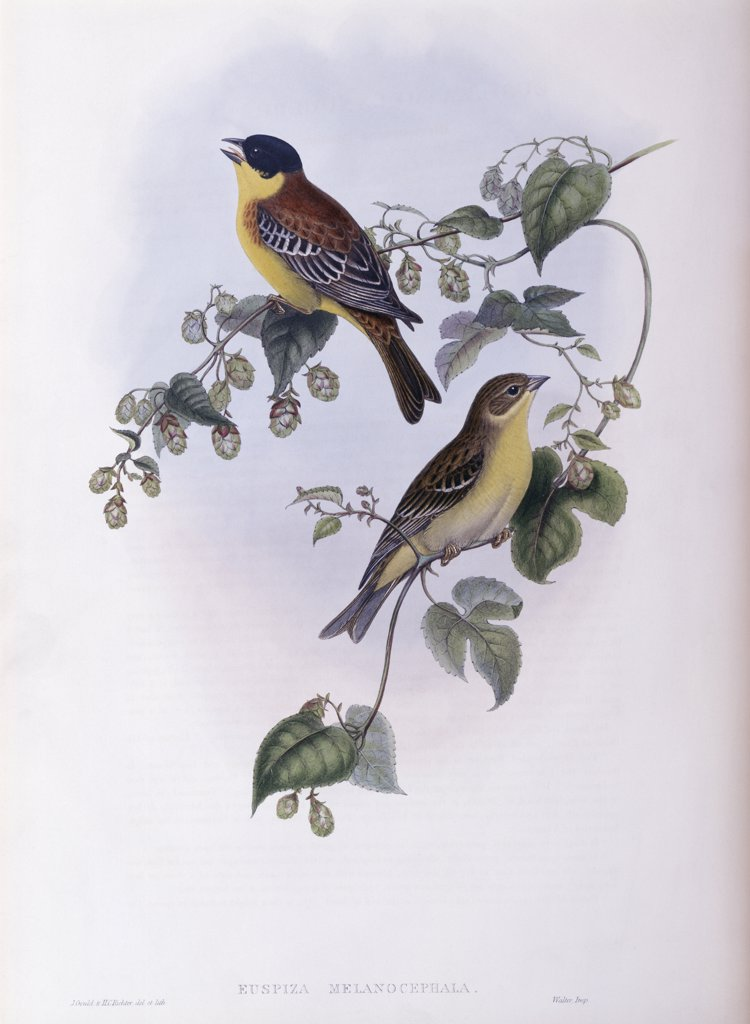 Stock Photo: 900-139686 Black Headed Bunting John Gould (1804-1881 British)