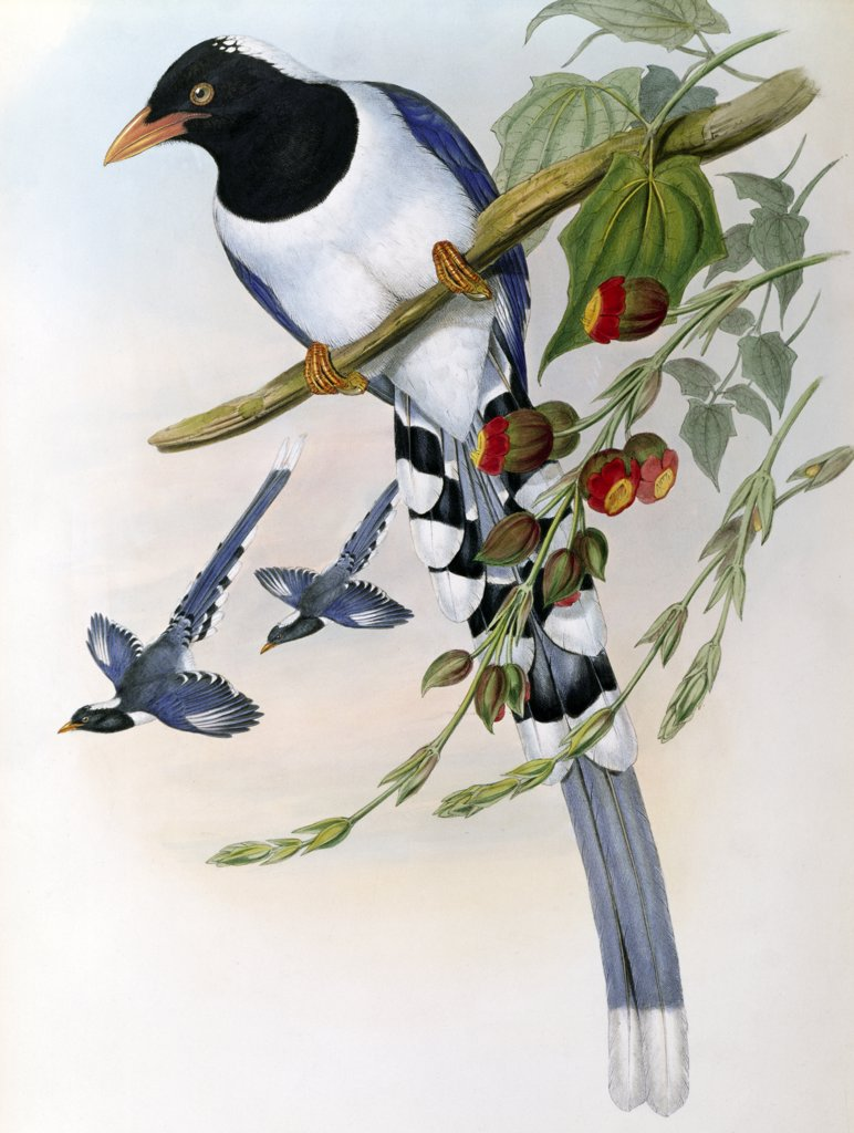 Great-Billed Blue Pie
