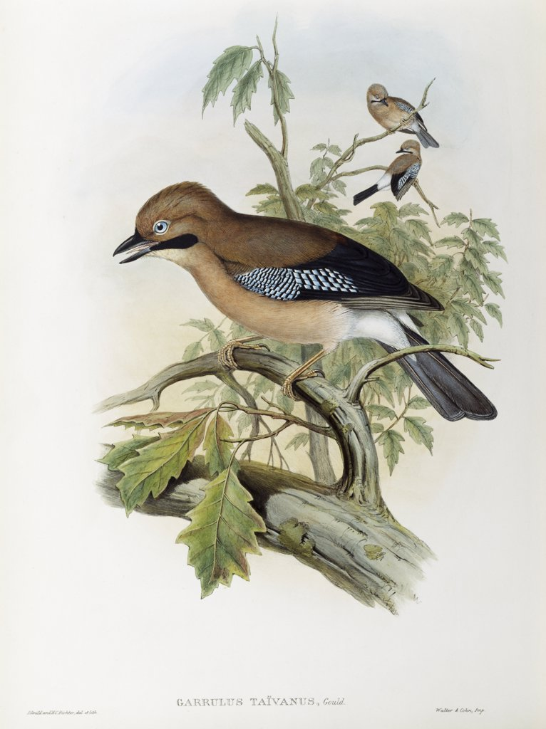 Stock Photo: 900-139690 Formosan Jay