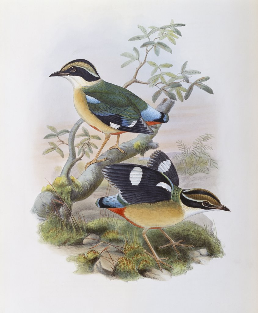 Stock Photo: 900-139691 Bengal Pitta John Gould (1804-1881 British)