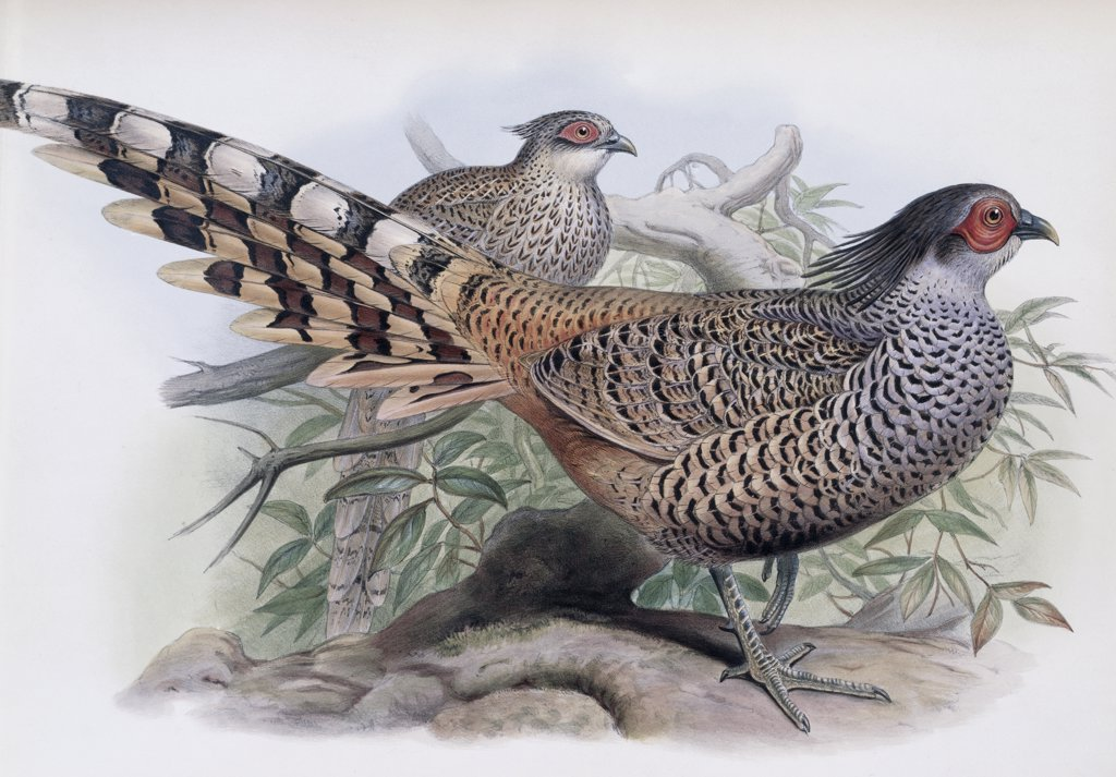 Stock Photo: 900-139695 Cheer John Gould (1804-1881 British) Lithograph