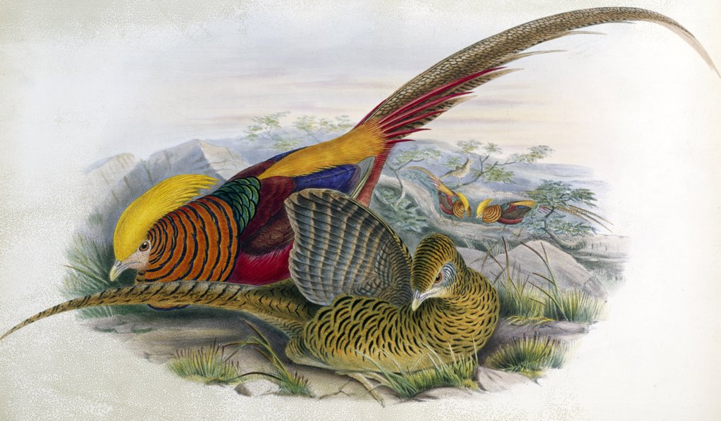 Stock Photo: 900-139696 Golden Pheasant