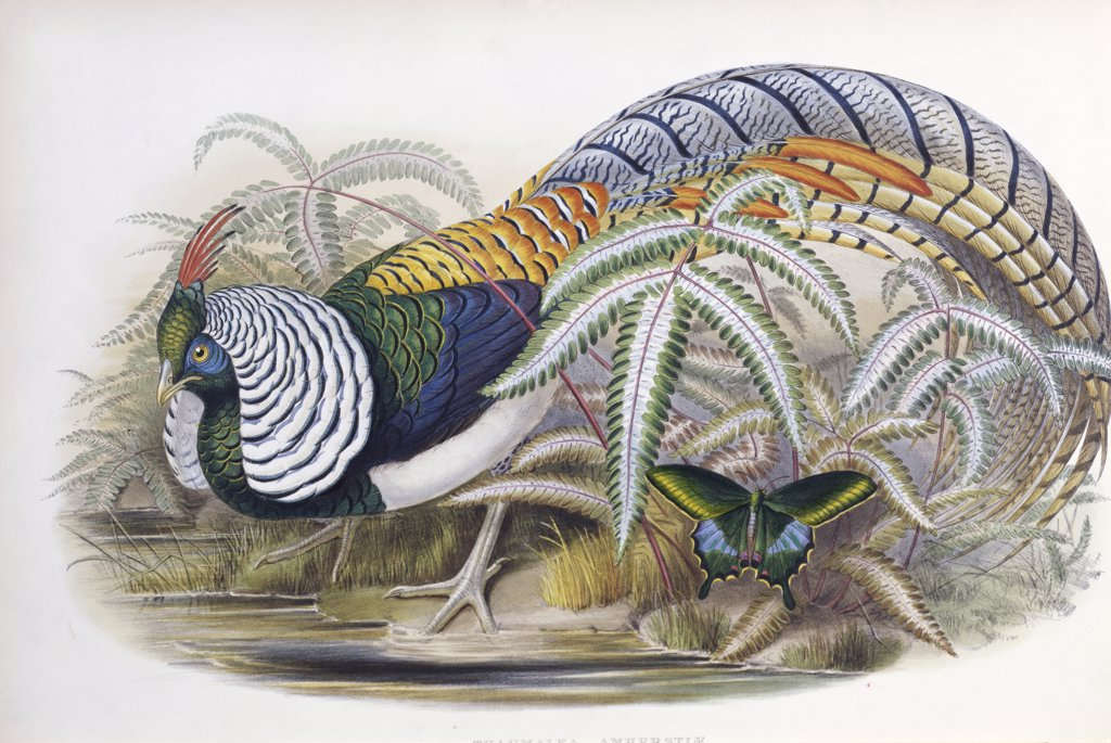 Stock Photo: 900-139697 Lady Amherst's Pheasant 