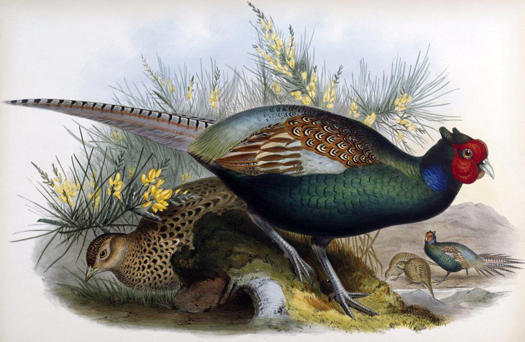 Japanese Pheasant John Gould (1804-1881 British) : Stock Photo