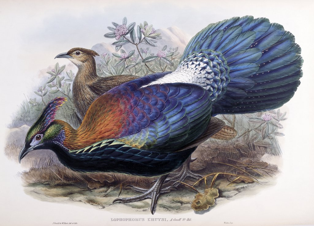 Stock Photo: 900-139700 De l'Huys Monal by John Gould, (1804-1881)