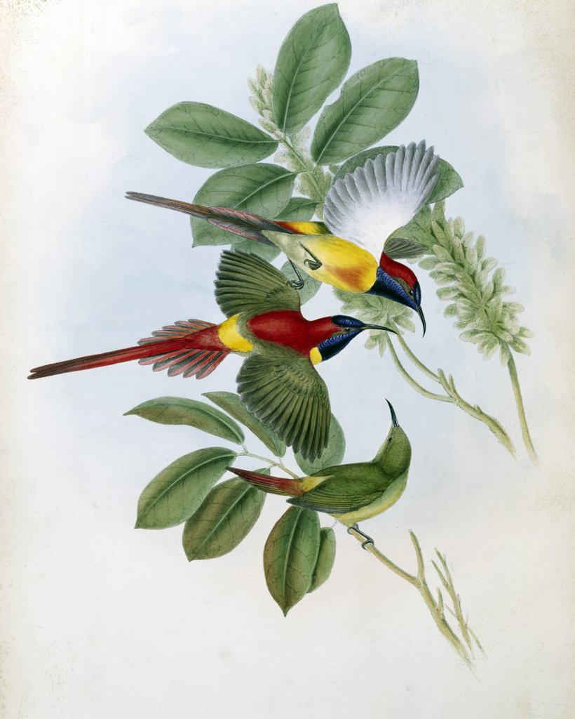 Stock Photo: 900-139701 Fiery Tailed Sun-Bird