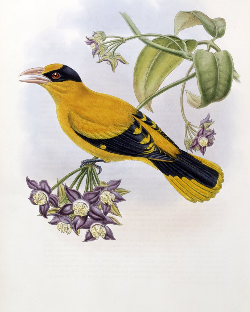 Stock Photo: 900-139704 Broderip's Oriole