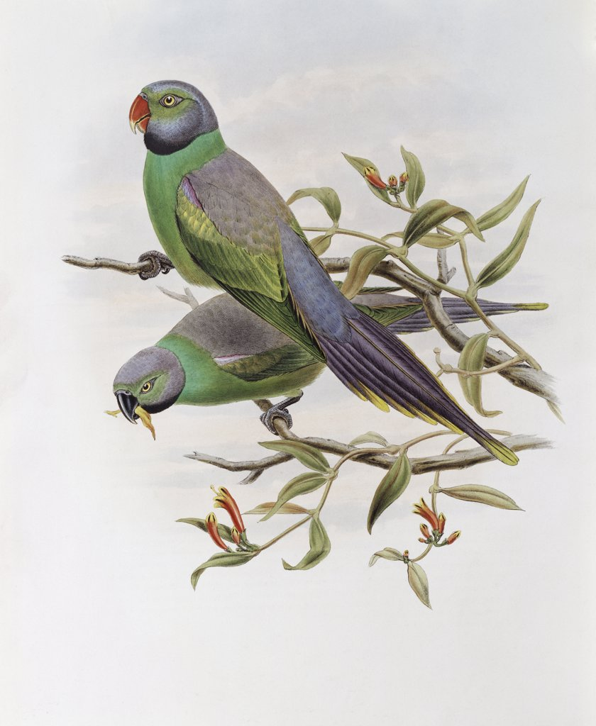 Mrs. Layard's Parakeet John Gould (1804-1881 British) : Stock Photo