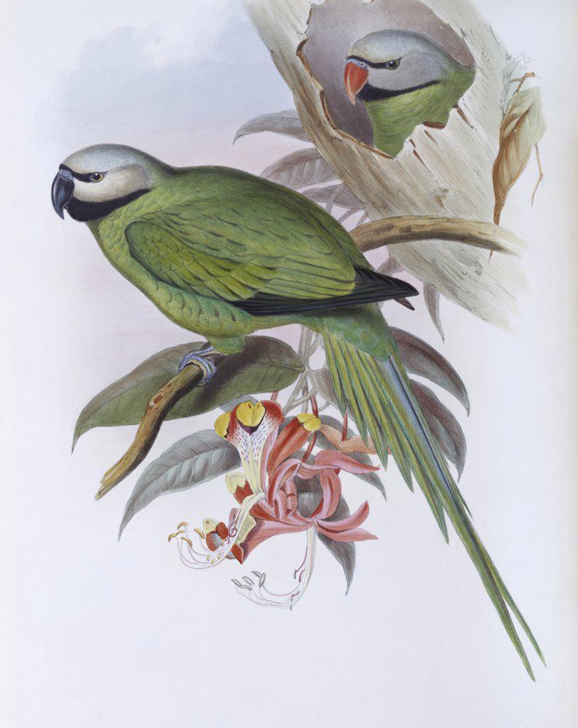 Stock Photo: 900-139707 Grey-headed Parakeet John Gould (1804-1881 British)