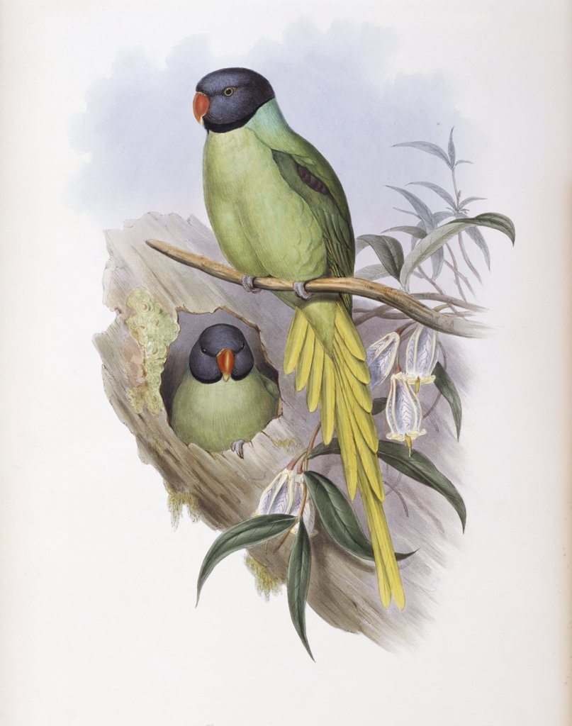 Stock Photo: 900-139708 Slaty-headed Parakeet John Gould (1804-1881 British)