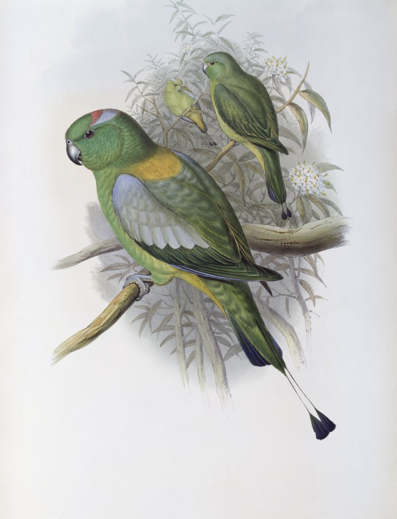 Racket-tailed Parrot John Gould (1804-1881 British) : Stock Photo