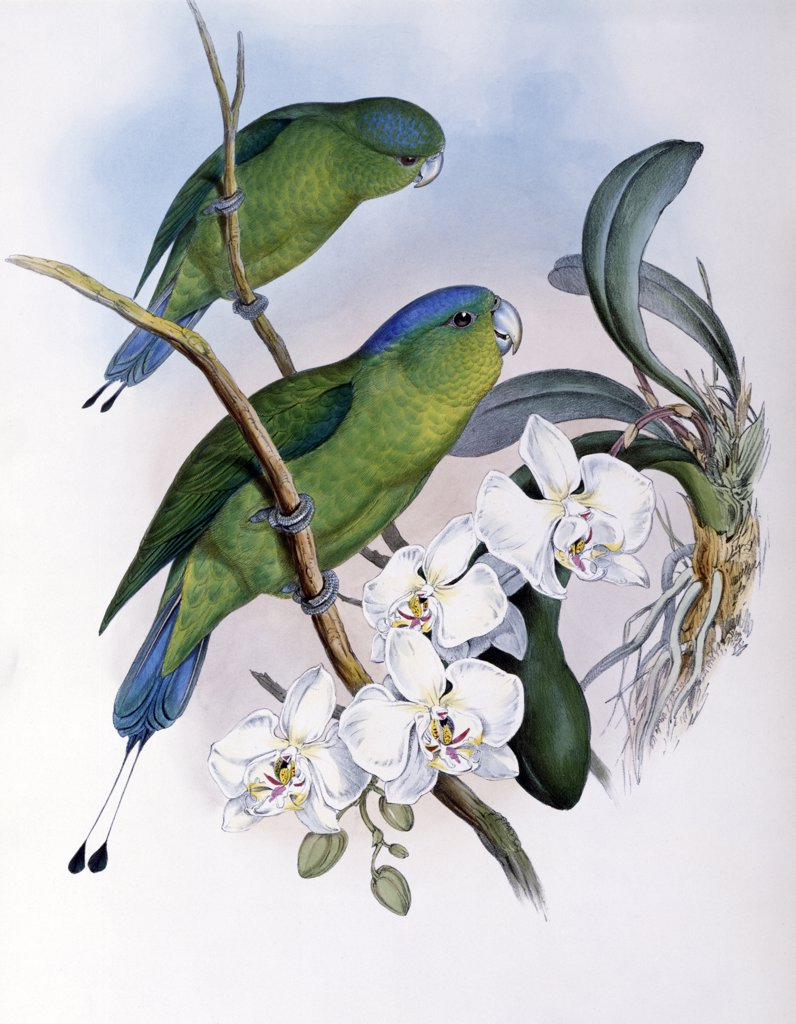 Stock Photo: 900-139710 Philippine Racket-tailed Parrot