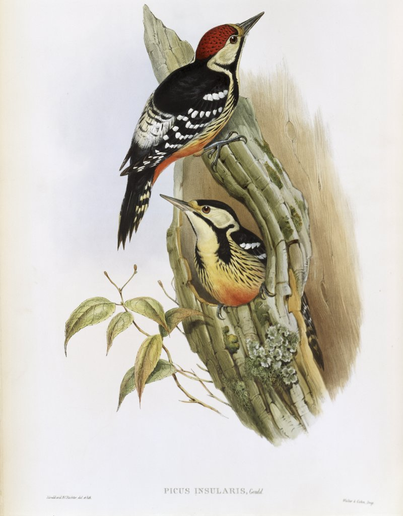 Stock Photo: 900-139711 Formosan Spotted Woodpecker
